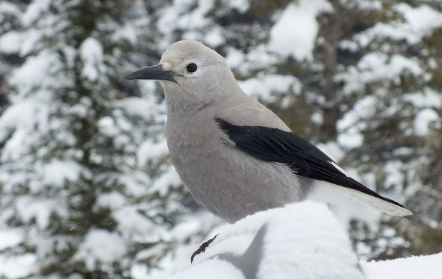 Clark's Nutcracker at Lake Louise - Alberta 2