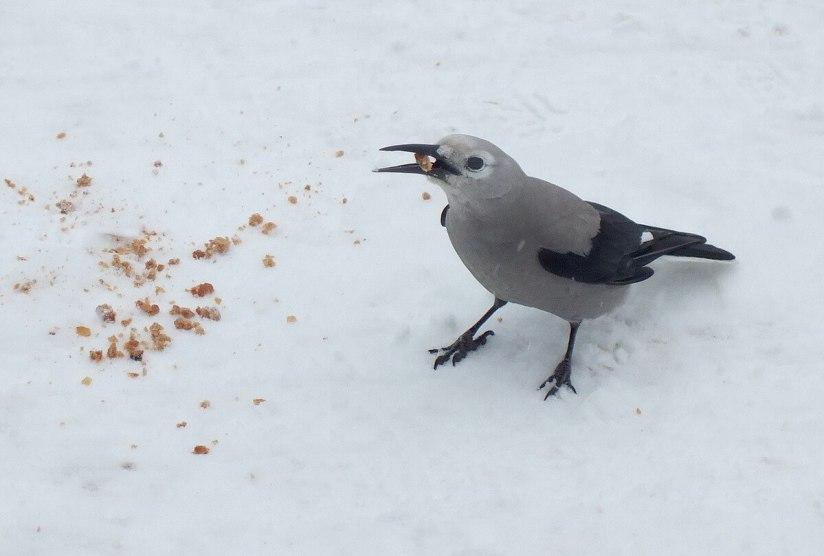 Clark's Nutcracker on snow at Lake Louise - Alberta 4