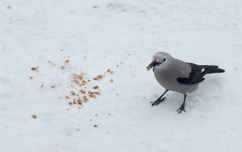 Clark's Nutcracker on snow at Lake Louise - Alberta 5