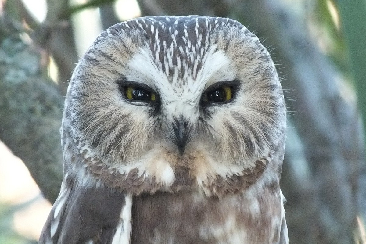 Northern-Saw-Whet-Owl-in-Toronto-tree1
