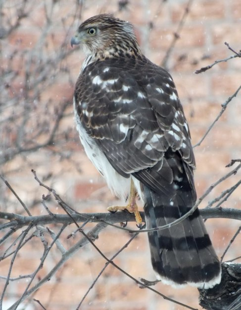 Sharp-shinned Hawk holds on with one claw during snowstorm in Toronto - Canada