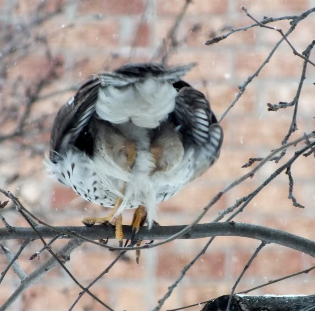 Sharp-shinned Hawk prepares to take flight in snowstorm in Toronto - Canada