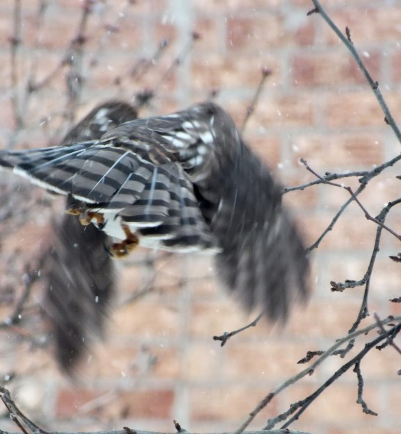 Sharp-shinned Hawk's flight into Toronto snowstorm - Canada