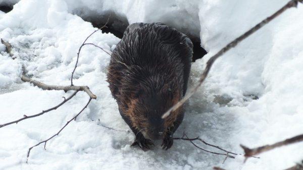 beaver exits frozen lake at arrowhead provincial park - ontario