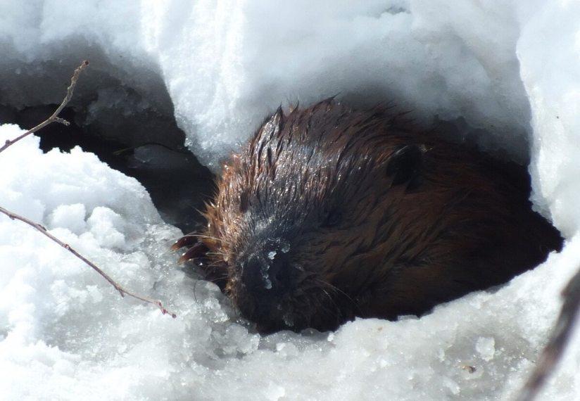 beaver in icy water - arrowhead provincial park - ontario