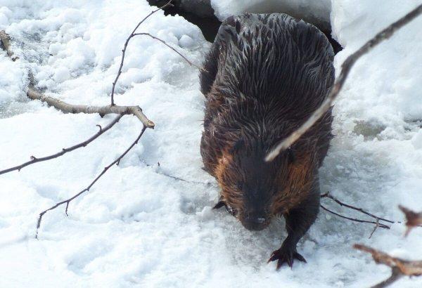 beaver on frozen lake at arrowhead provincial park - ontario