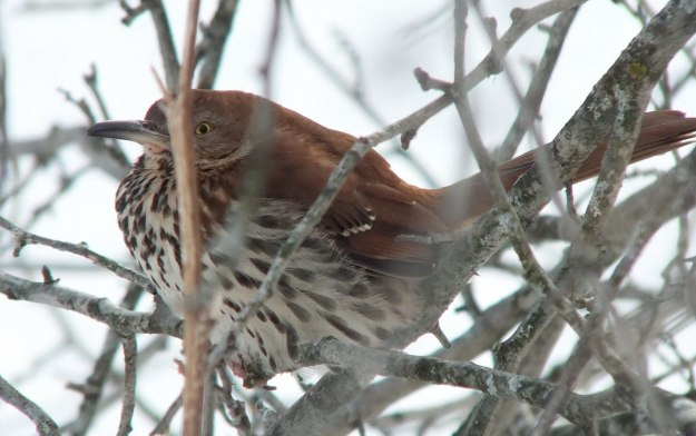 brown thrasher - lynde shores conservation area - whitby 1