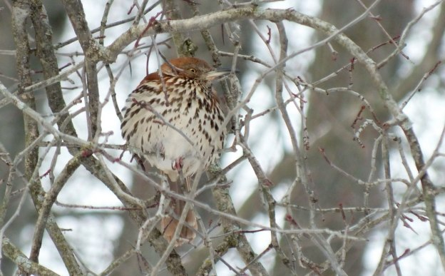 brown thrasher - lynde shores conservation area - whitby 12