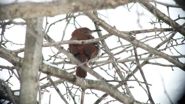 brown thrasher - lynde shores conservation area - whitby 5