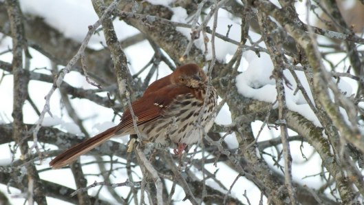brown thrasher - lynde shores conservation area - whitby 7