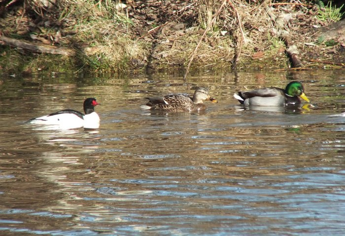 common merganser and ducks at reifel bird sanctuary