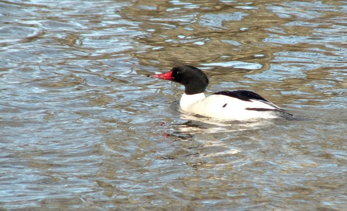 common merganser at reifel bird sanctuary 1