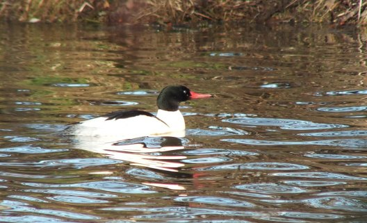 common merganser at reifel bird sanctuary 7