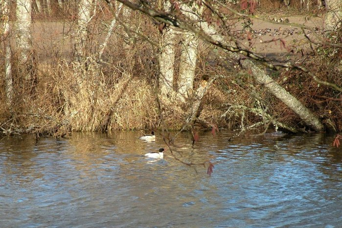 common mergansers at reifel bird sanctuary 3
