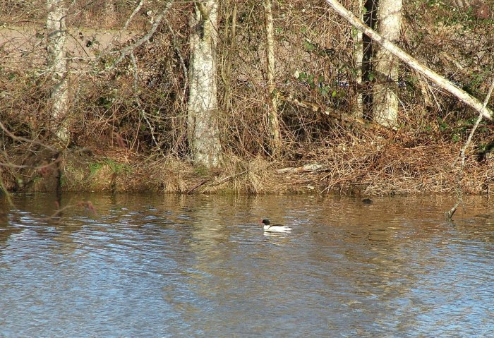 common mergansers at reifel bird sanctuary 5