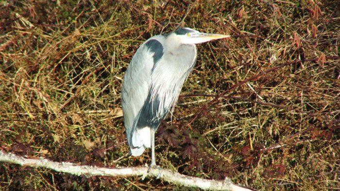 great blue heron sitting on branch - reifel bird sanctuary