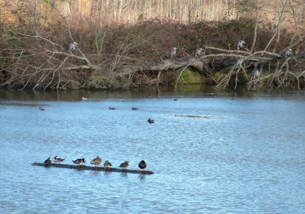 hooded mergansers at reifel bird sanctuary 4