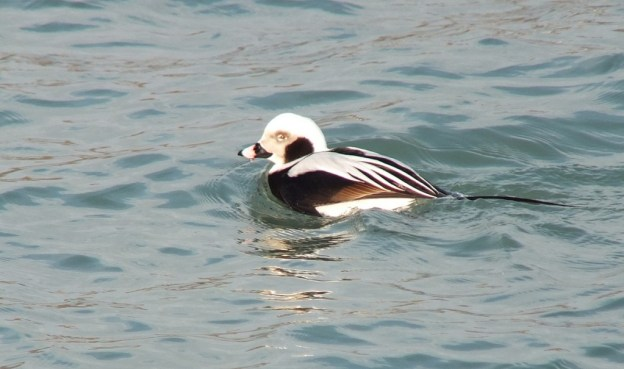 long-tailed duck - male - bluffers park - toronto 4