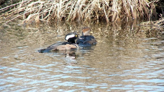 male and female hooded merganser swimming - reifel bird sanctuary 1