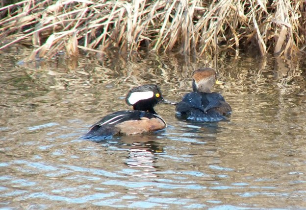 male and female hooded merganser swimming - reifel bird sanctuary 2