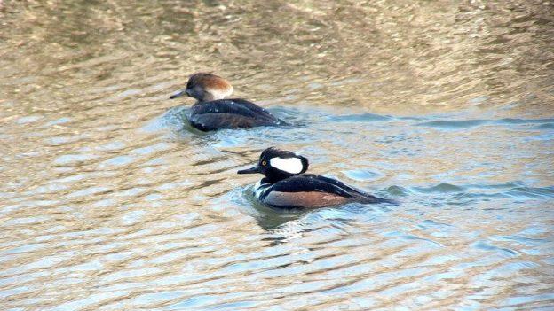 male and female hooded merganser swimming - reifel bird sanctuary 3
