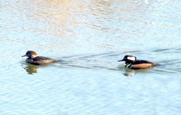 male and female hooded merganser swimming - reifel bird sanctuary 4