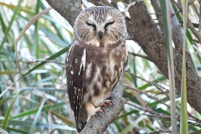 northern saw whet owl - toronto - ontario 12