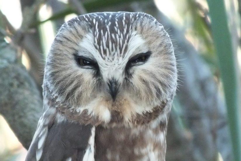 Northern Saw-Whet Owl sitting in Milliken Park in Toronto, Ontario, Canada