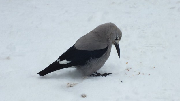 Clark's Nutcracker at Lake Louise - Alberta 6