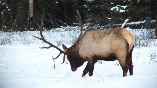 bull elk digs in snow near lake louise 2