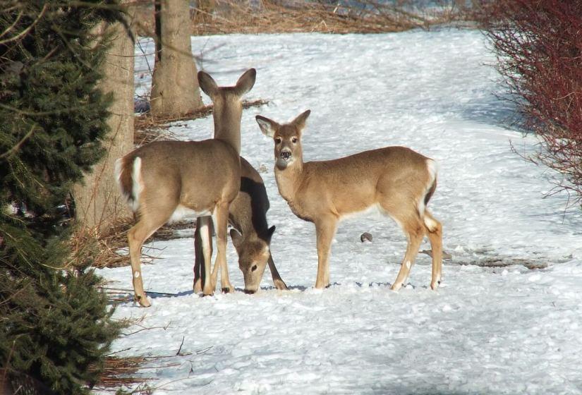 deer along path at lynde shores