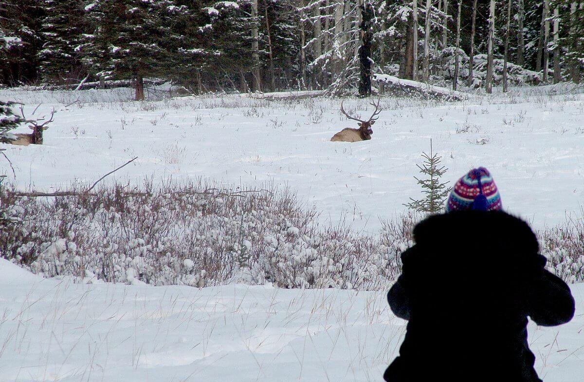 elk on snowy field near lake louise