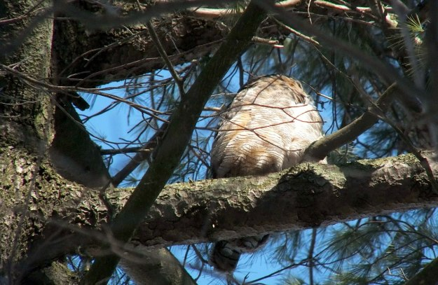 great horned owl in thicksons woods - whitby 11