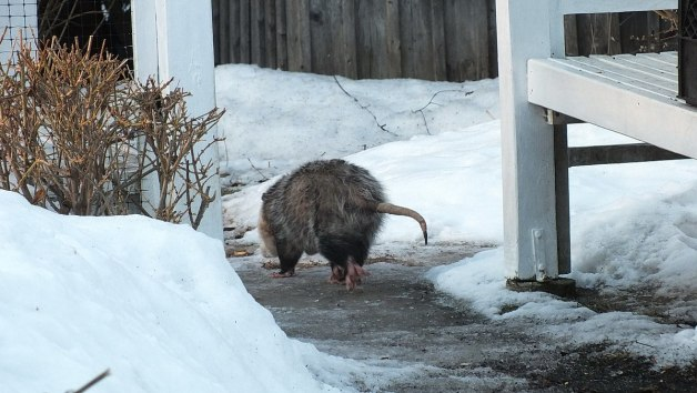 opossum heads towards garden - toronto 1