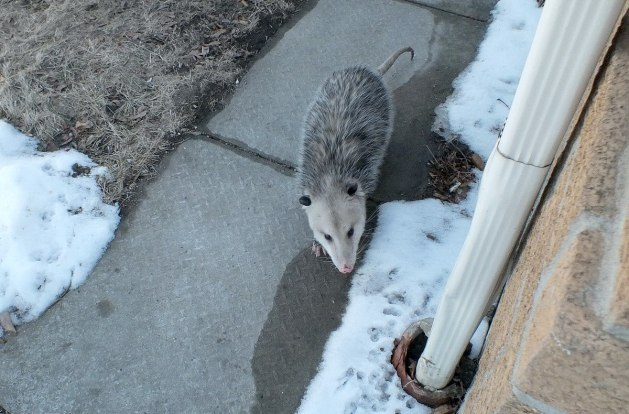 opossum in toronto backyard - 5