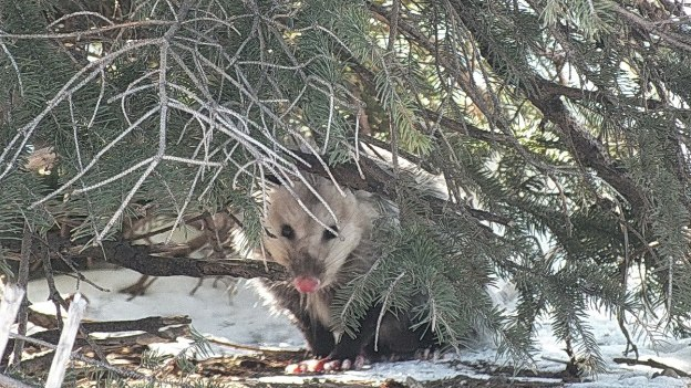 possum looks to camera under tree - toronto