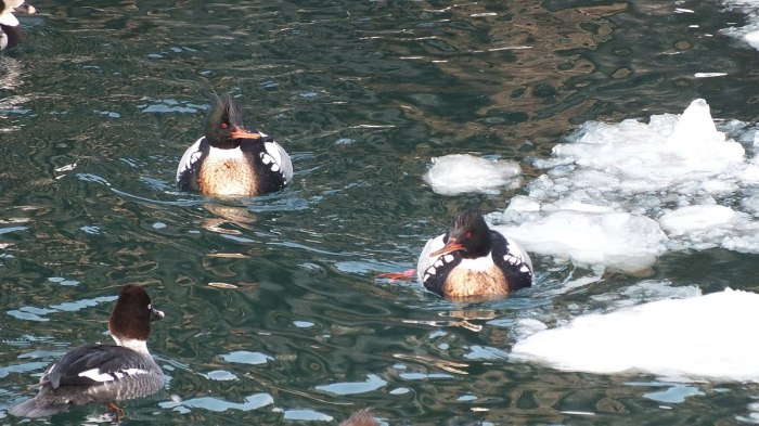 red-breasted mergansers swim in icy toronto harbour 2