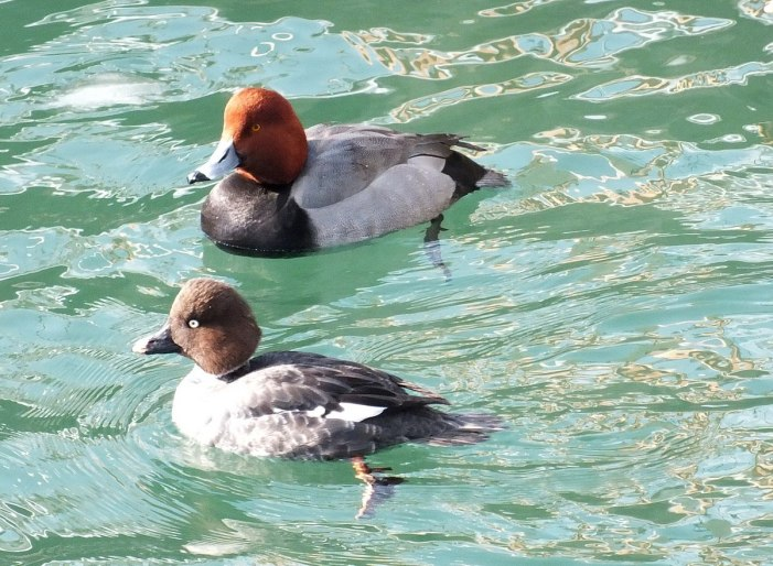 redhead duck with another duck in toronto harbour