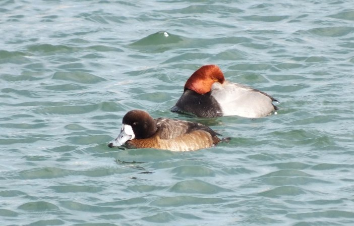 redhead duck with head on back in toronto harbour