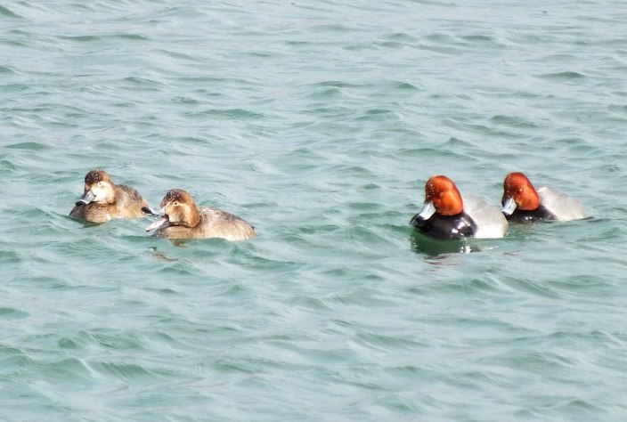 redhead ducks in toronto harbour