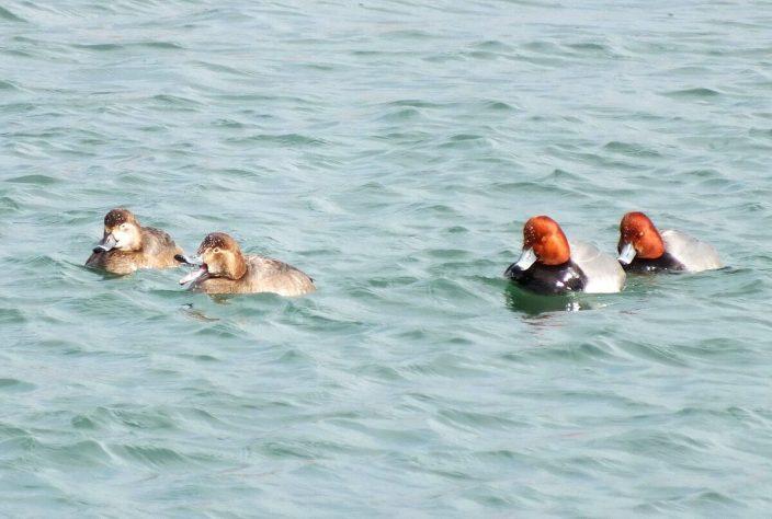redhead ducks in toronto harbour