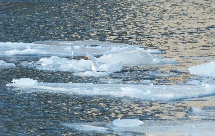 snow goose in toronto harbour