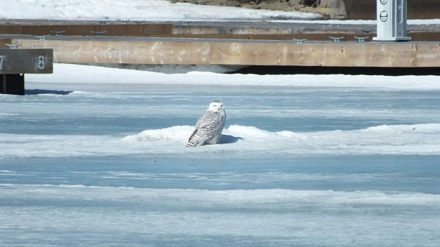 Snowy Owl sitting on ice near docks at Colonel Samuel Smith Park in Etobicoke, Ontario, Canada