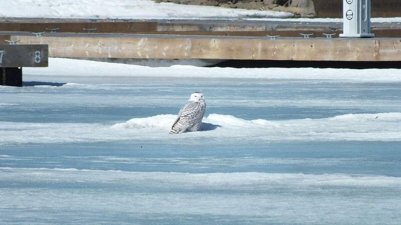 Snowy Owl sitting on ice near docks at Colonel Samuel Smith Park in Etobicoke, Ontario, Canada