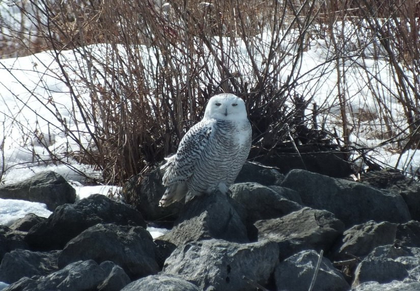 Snowy Owl sitting on a rock at Colonel Samuel Smith Park in Etobicoke, Ontario, Canada