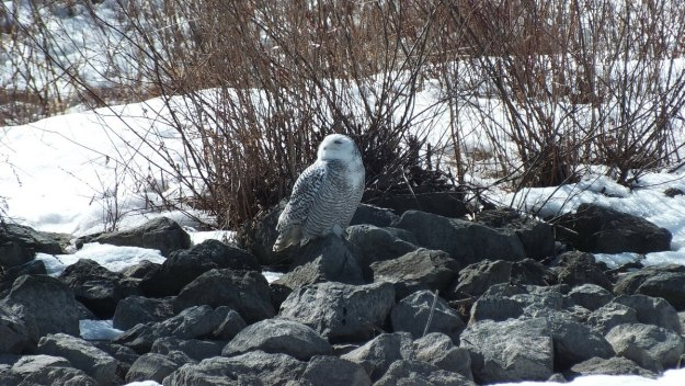 Snowy owl sitting on rocks at Colonel Samuel Smith Park in Etobicoke, Ontario, Canada