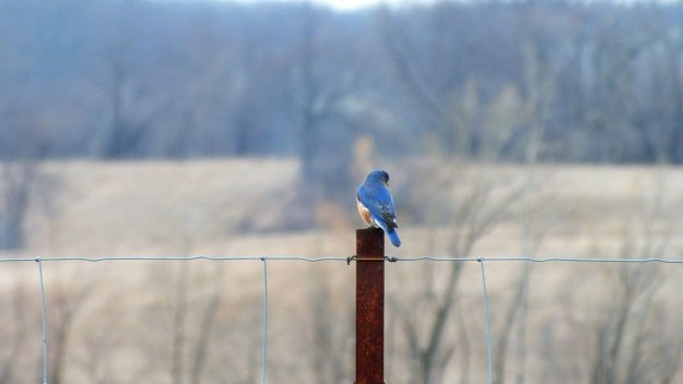 eastern bluebird male along brant waterloo road_cambridge_ontario 12