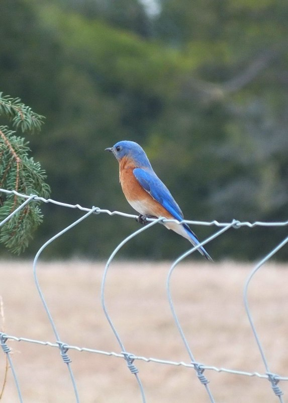 eastern bluebird male on brant waterloo road_cambridge_ontario 6