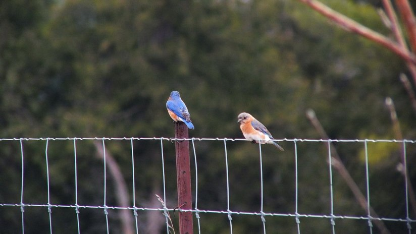eastern bluebirds on brant waterloo road_cambridge_ontario 2