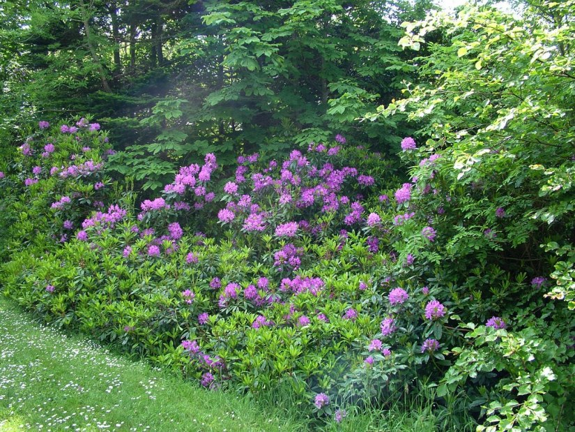 rhododendron bushes at asford castle